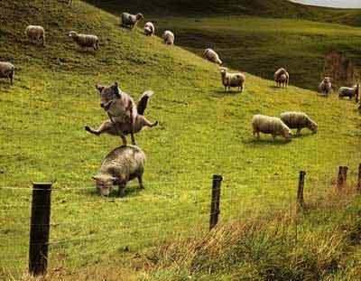 Lupul stapan peste oi
